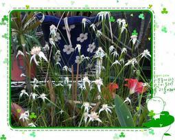 希望之光 挺水性 水生植物 莎草科